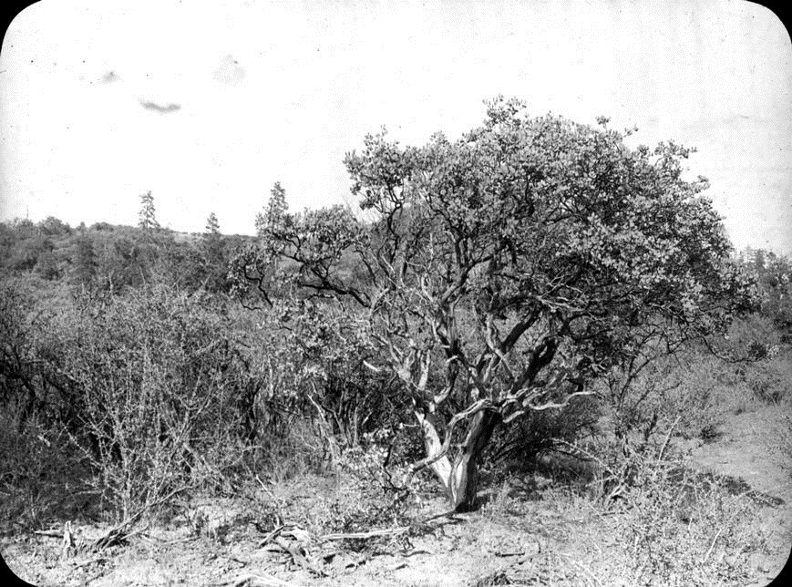 Chaparral in the Medford area, 1913